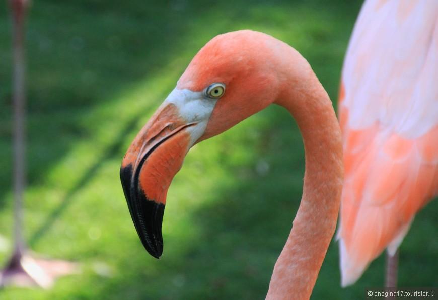 Фламинго. Тоже из Колумбии. Сложные у меня отношения с ними. В принципе, птицы красивые и когда их много, кажется, что розовое облако опустилось на озеро! Но один раз я увидела их глаза в очень сильном приближении. И ужаснулась! Таких жестоких, злых глаз я не видела ни у кого... С той поры фламинго фотографирую не приближая.