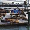 Пирс 39 - колония морских котиков