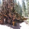 Корни гигантской секвои