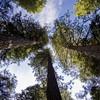 Кроны секвой уходят высоко в небо