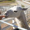 Кормление животных на ранчо Саддлрок