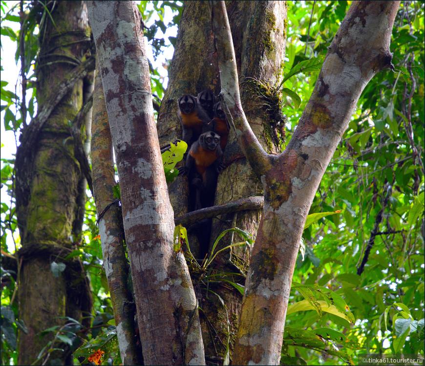 """В дебрях Амазонки живут  вот такие малюсенькие  обезьянки. Местные их называют """"Фрайле""""."""