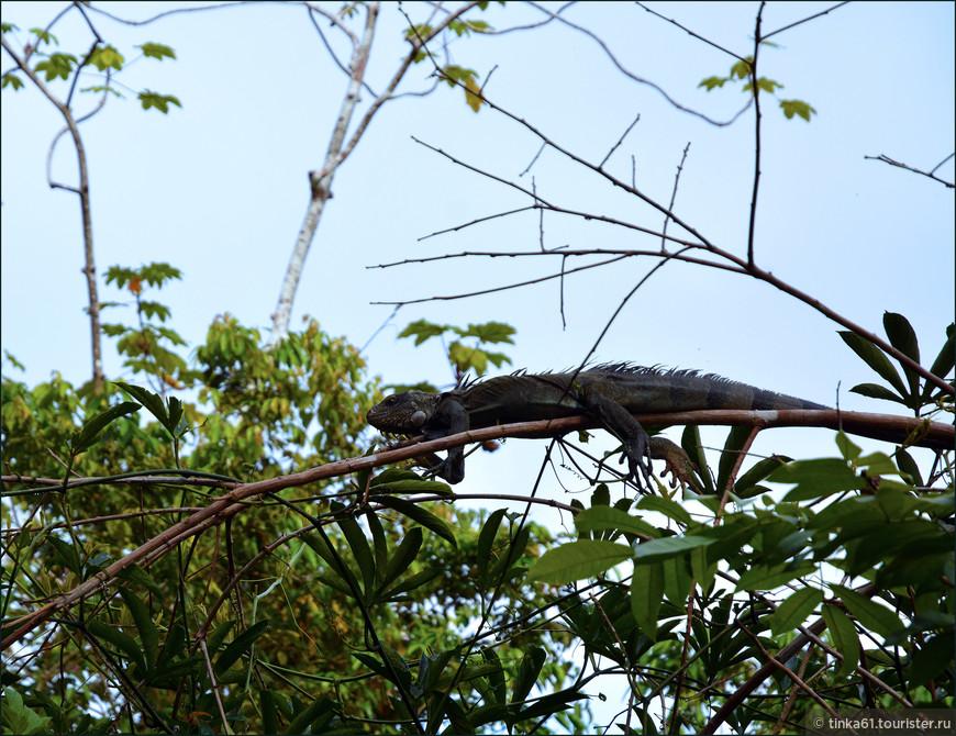 Хамелеонистая игуана в своей естественной среде обитания. Её мы подстерегли прямо на берегу реки.
