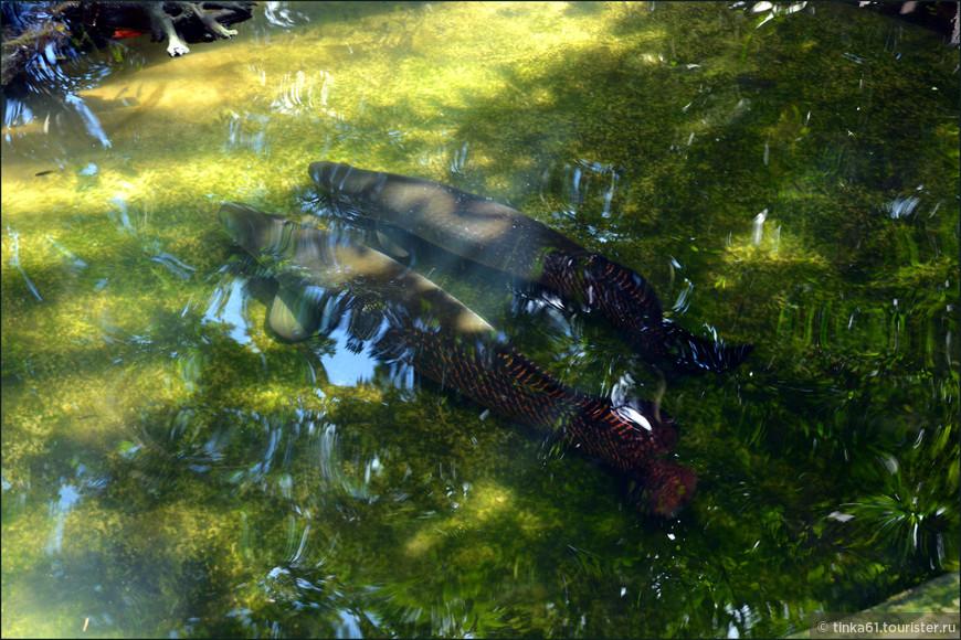Гигантские речные рыбы Амазонки  под названием пайче.