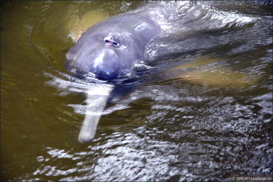 Розовый дельфин. Мне он показался откровенно серым, но говорят, что розовыми они становятся с возрастом.