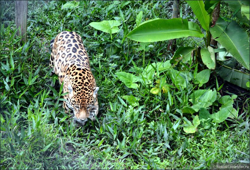 Ягуара  я увидела в  центре Кистокоча, где представлены типичные  животные региона Амазонки.