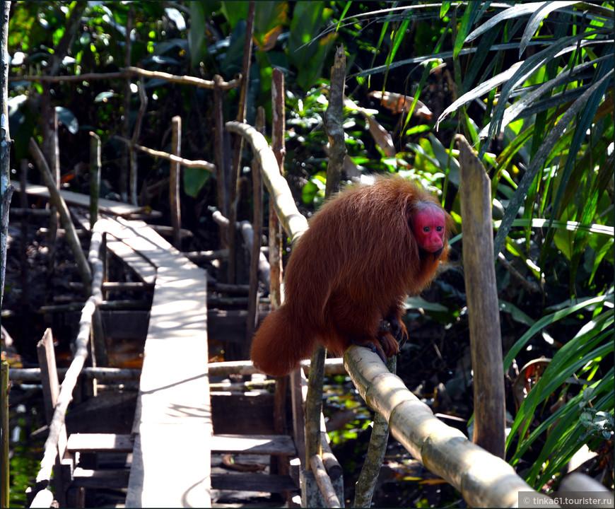 Красноликие обезьянки уакари.