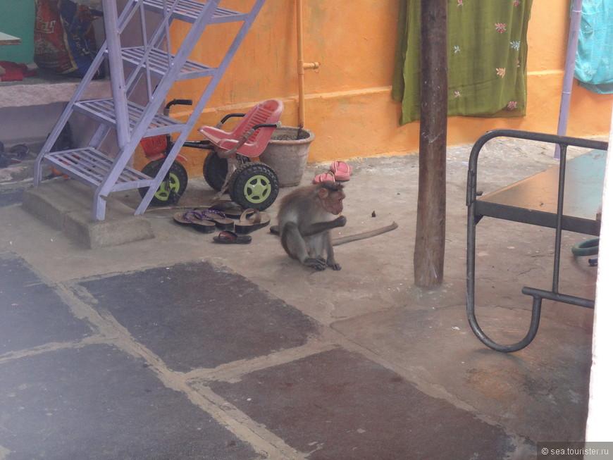 а вообще обезьяны здесь как у нас кошки могут и в дома забираться
