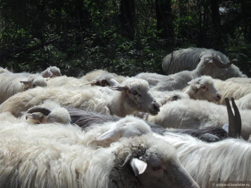 Море овечек в Кахетии обычное дело