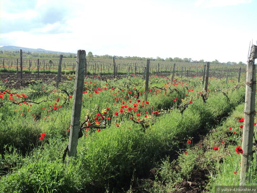 Знаменитая Алазанская долина полна виноградниками, а маки среди них выглядят как украшение