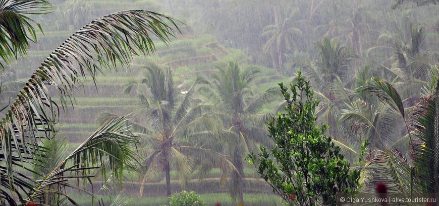 Ливень на рисовых плантациях...