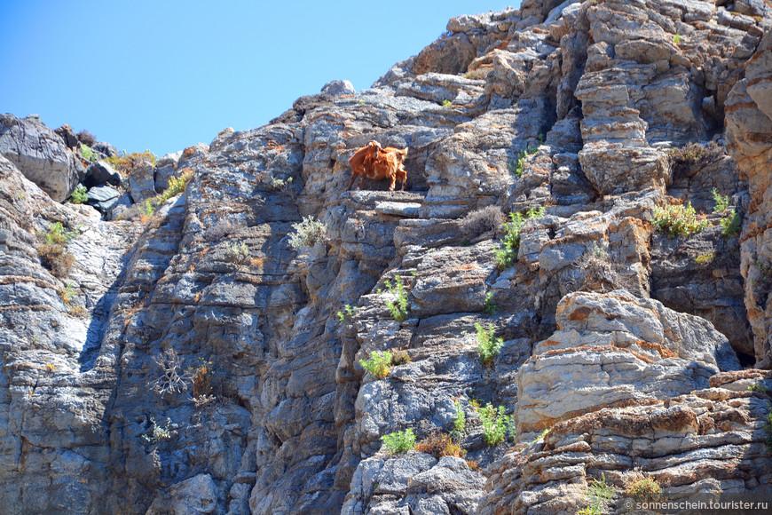 По дороге любуемся горными козами.
