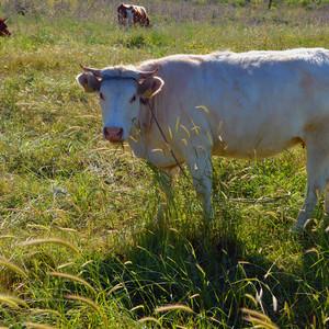 """В долине мы повстречали """"живописную"""" корову."""