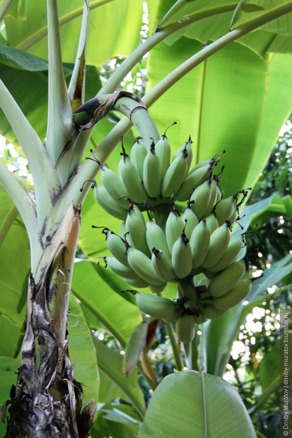 Бананчики еще не поспели