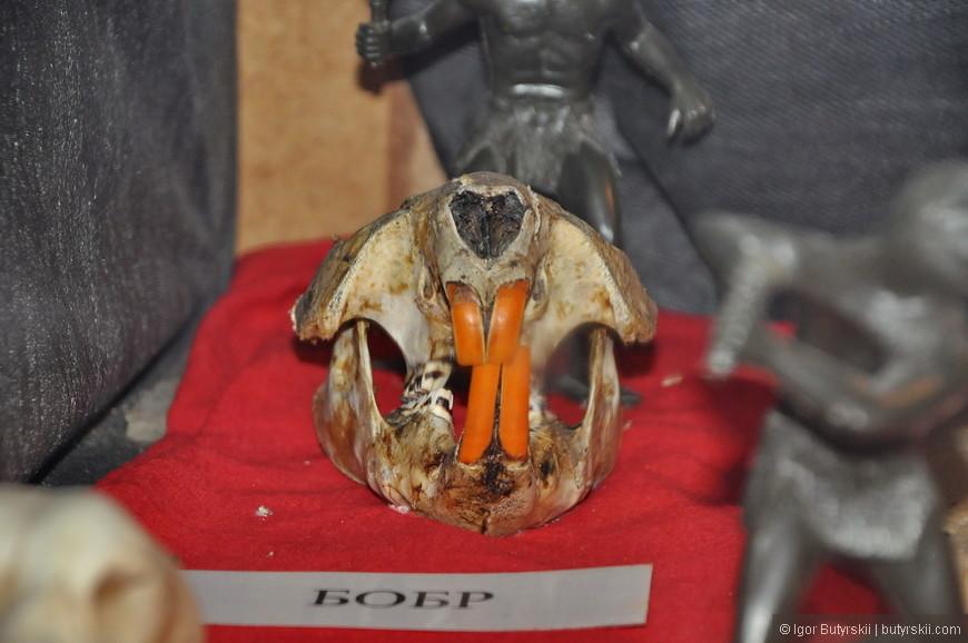 03. Ох и страшный же череп у бобра, никогда бы не подумал.