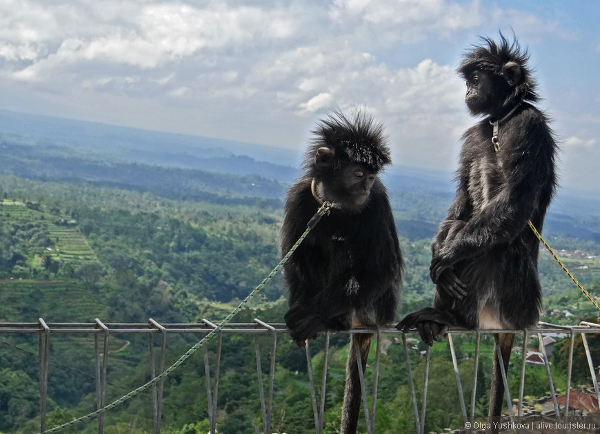 На следующий день едем в противоположном направлении - в центральную часть Бали. По дороге встретили вот таких вот смешных обезьянок... )))