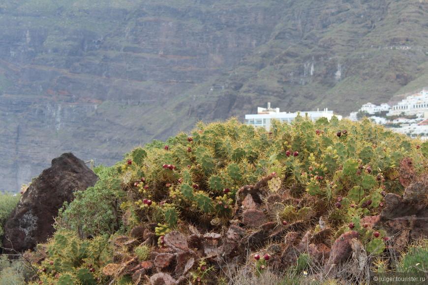 Тенерифе называют островом кактусов. И не зря! Длинные, круглые, совсем крошечные, с голубыми/розовыми/белыми цветочками, с длинными острыми иголками или мягким пушком... перечислять их разновидности можно долго :)