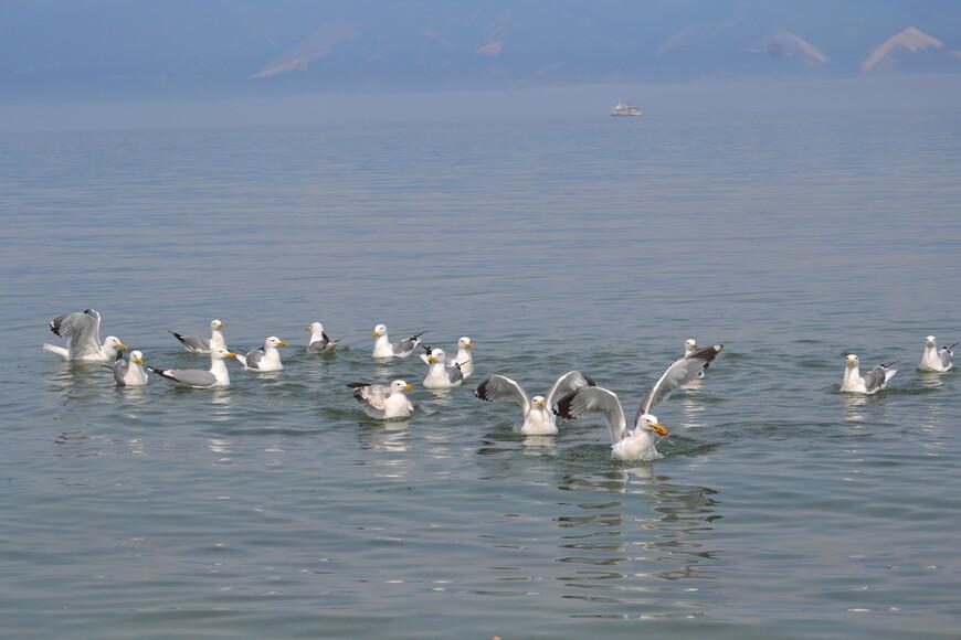 На берегу можно покормить чаек хлебушком. Многие даже дерутся между собой!