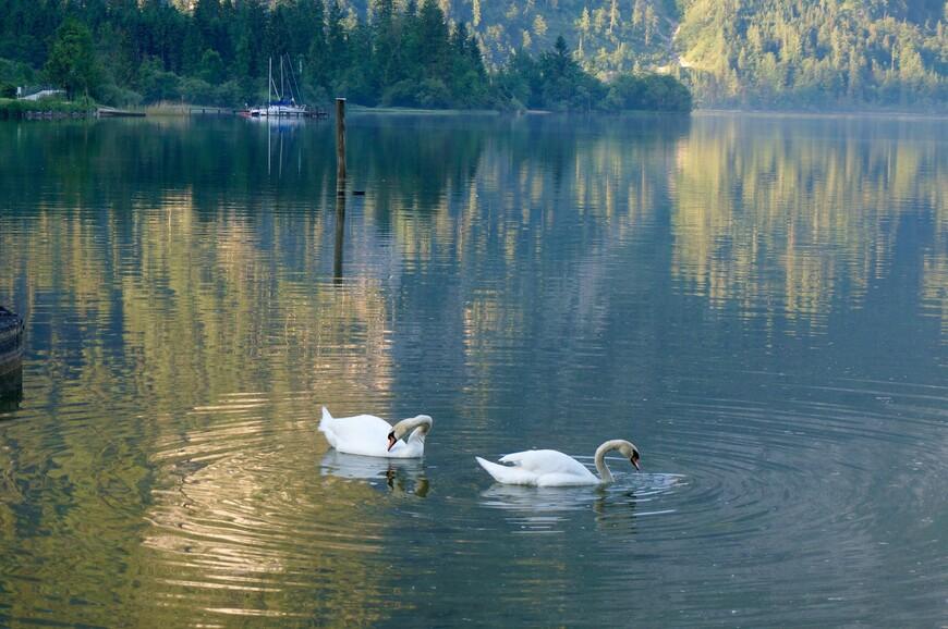Лебеди почти ручные, едят с рук, людей не боятся.