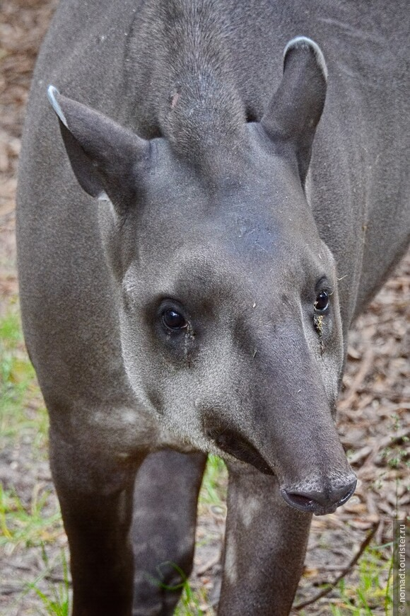 Южноамериканский тапир