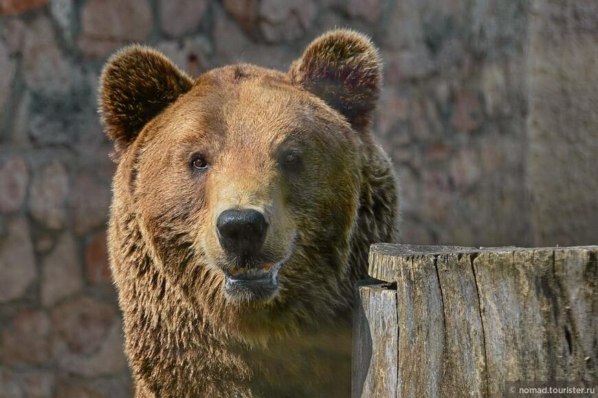 Бурый медведь..
