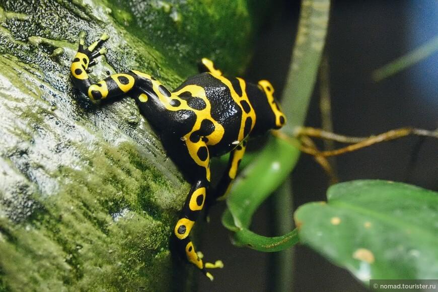 Священный древолаз, Dendrobates leucomelas, Yellow-banded poison dart frog