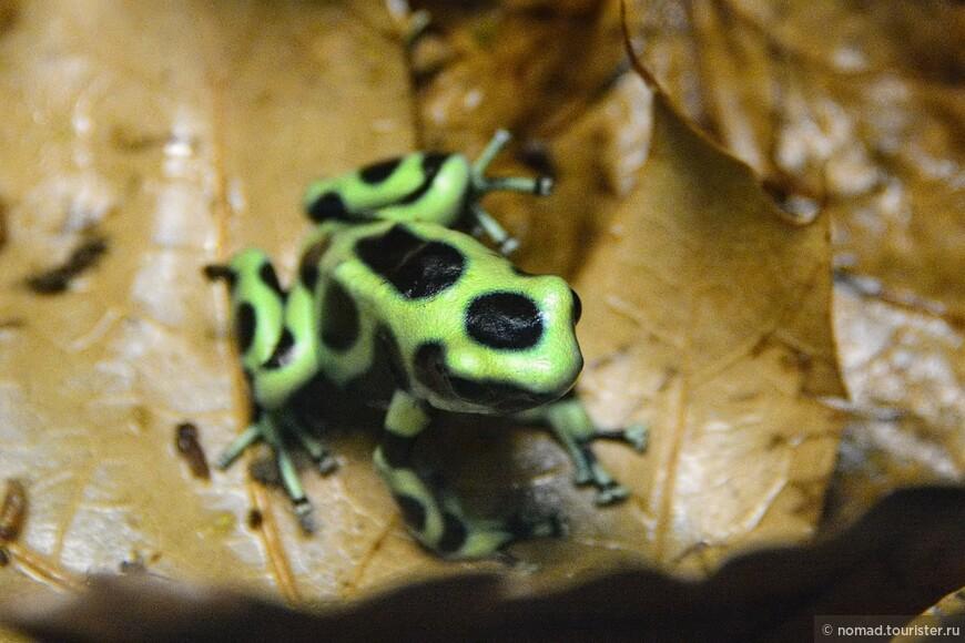 Красящий древолаз, Dendrobates auratus, Green Poison Frog