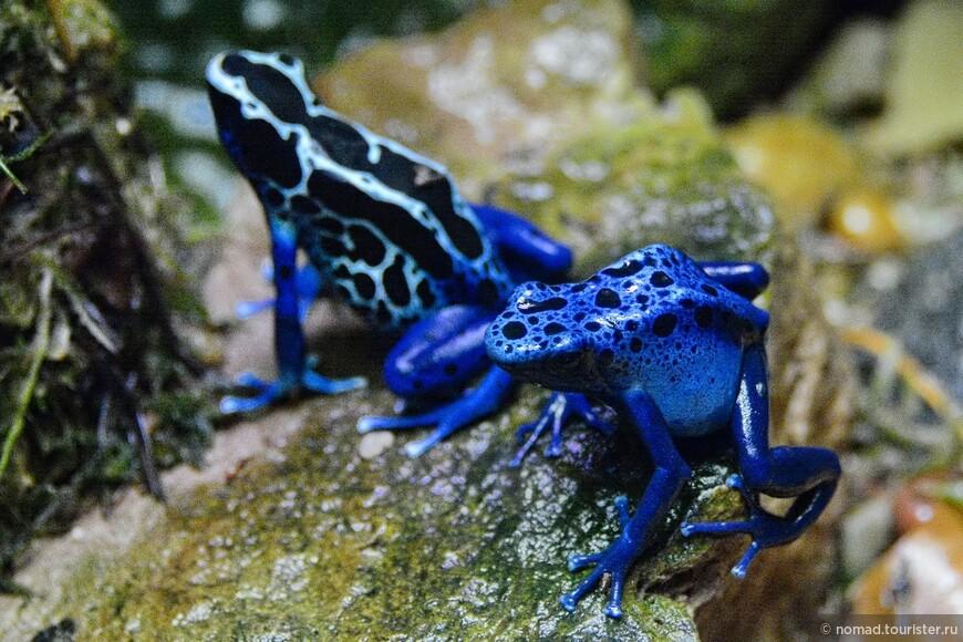 Пятнистый древолаз, Dendrobates tinctorius, Dyeing dart frog