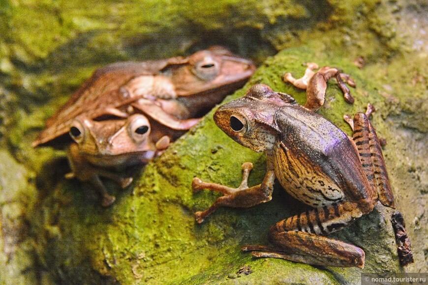 Костноголовый веслоног, Polypedates otilophus, File-Eared Tree Frog