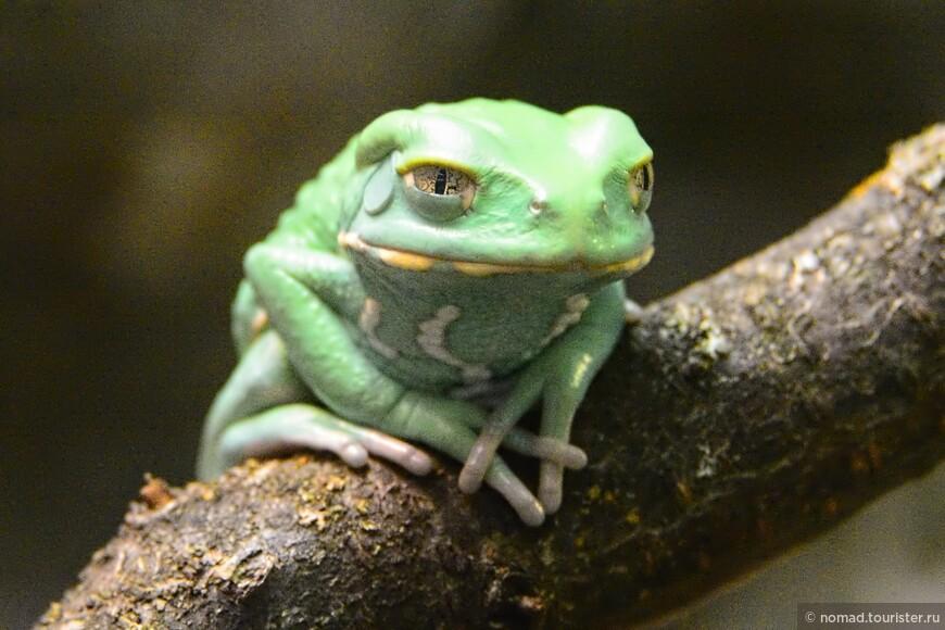 Филломедуза чакская, Phyllomedusa sauvagii, Waxy Monkey Leaf Frog