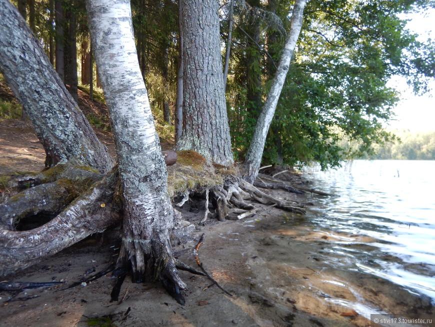 Воды озера Чистик потихоньку подмывают прибрежные сосны и березы....