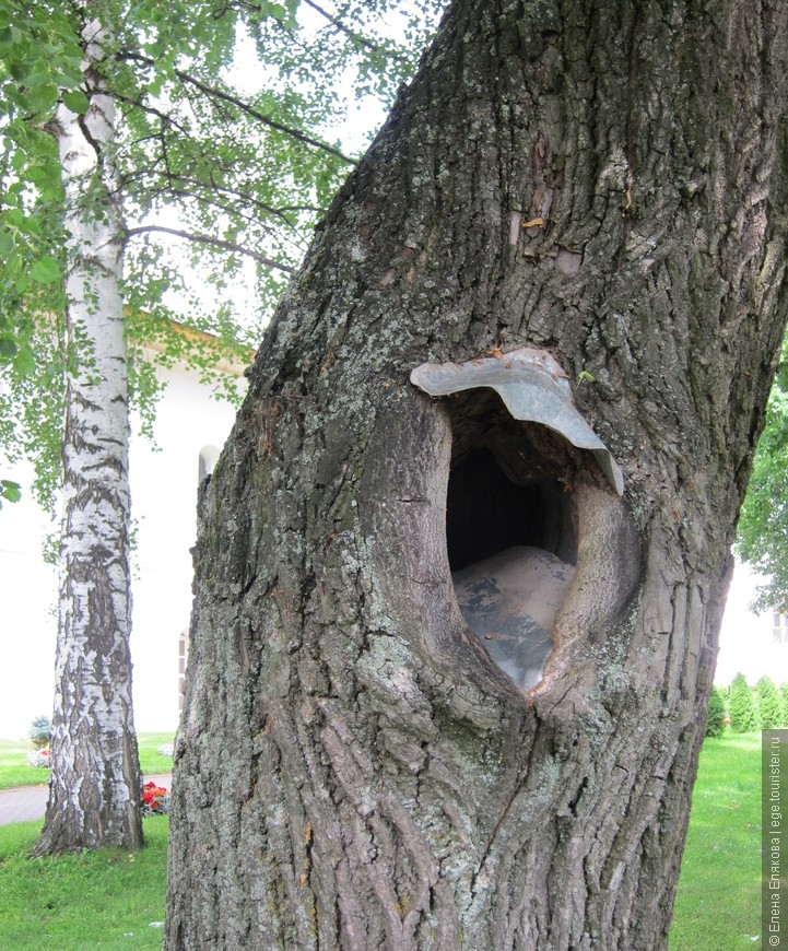 Так заботятся о деревьях   в Толгском монастыре (даже не на территории кедровника)