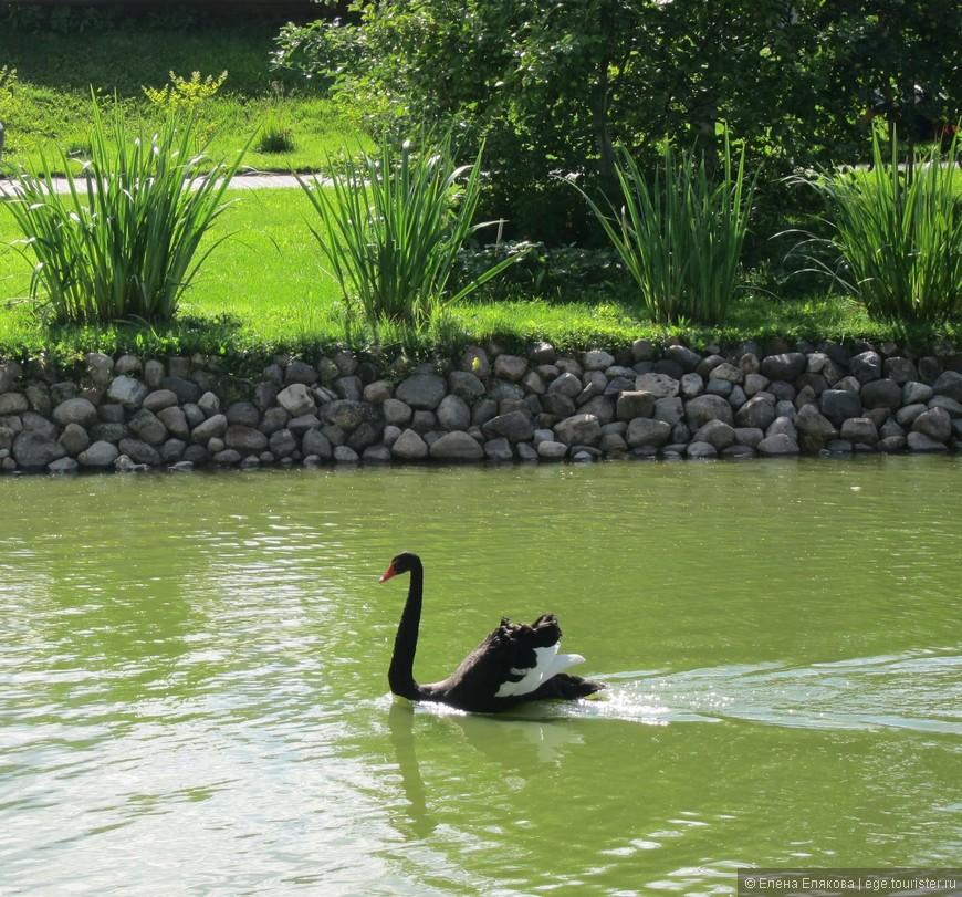 В это время косили траву, это очень не нравилось этому лебедю - он мчится к косильщику,