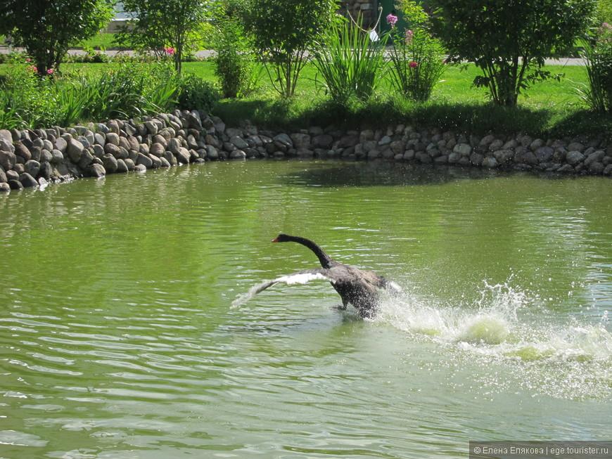 машет крыльями, преследует его по воде и издает негодующие звуки! А я в очередной раз забыла включить видео!