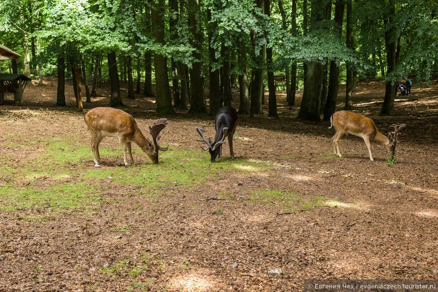 В парке Мёльна свободно гуляют олени.