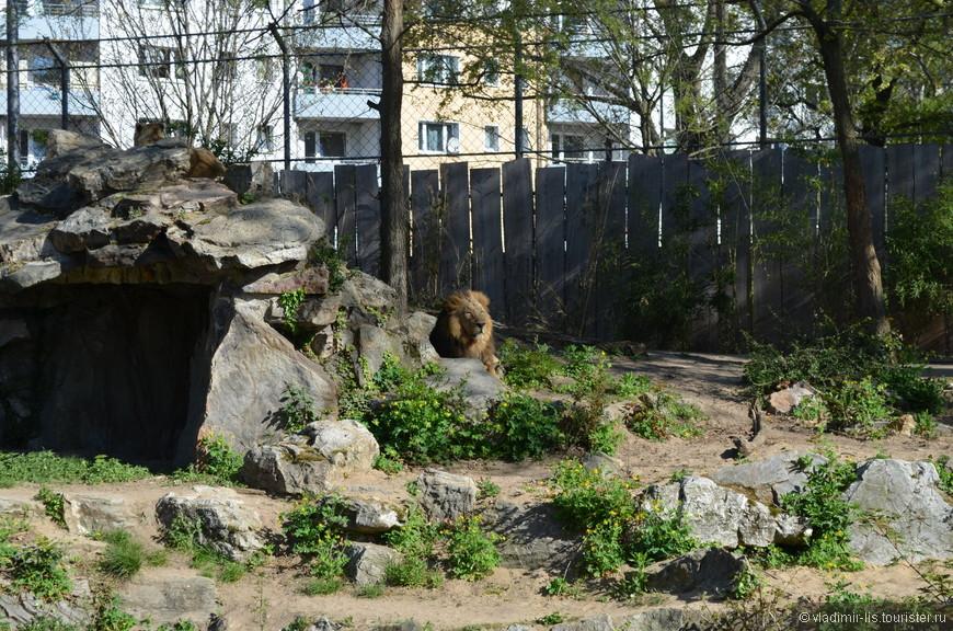 Ничего необычного, просто лев за забором) В зоопарке Франкфурта