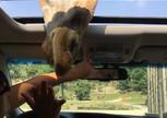 Здороваемся с жирафом))))...