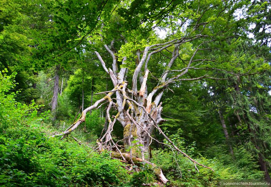 Природная достопримечательность-300 летний граб. Погода и ветер частично поломали дерево в позапрошлом веке.