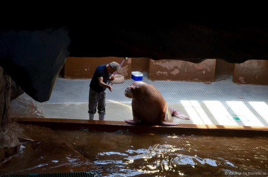 Забавный морж выясняет отношения с дрессировщиком на радость зрителям. Очень умное животное