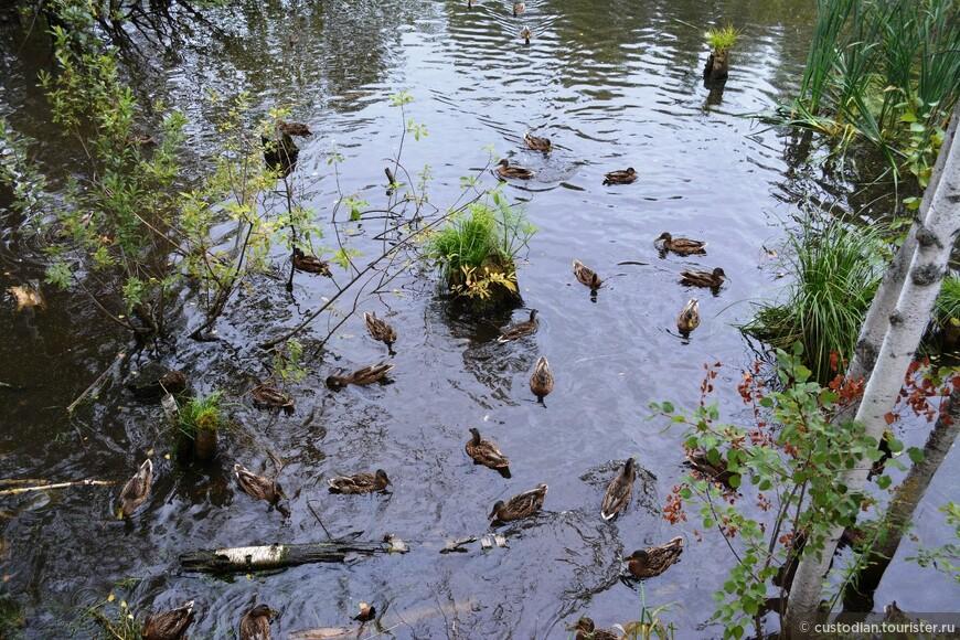 Специалисты-орнитологи считают, что всю необходимую пищу утки могут добыть в пруду самостоятельно (написано на стенде у пруда), однако люди считают, что уток нужно кормить хлебом (мои наблюдения)....