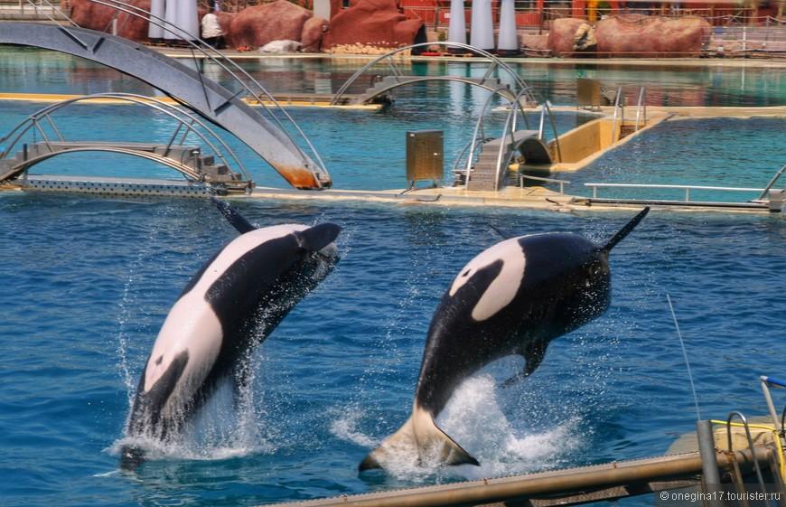 Огромные и невероятно ловкие, касатки творили чудеса, не только плавая, но и летая над водой бассейна.
