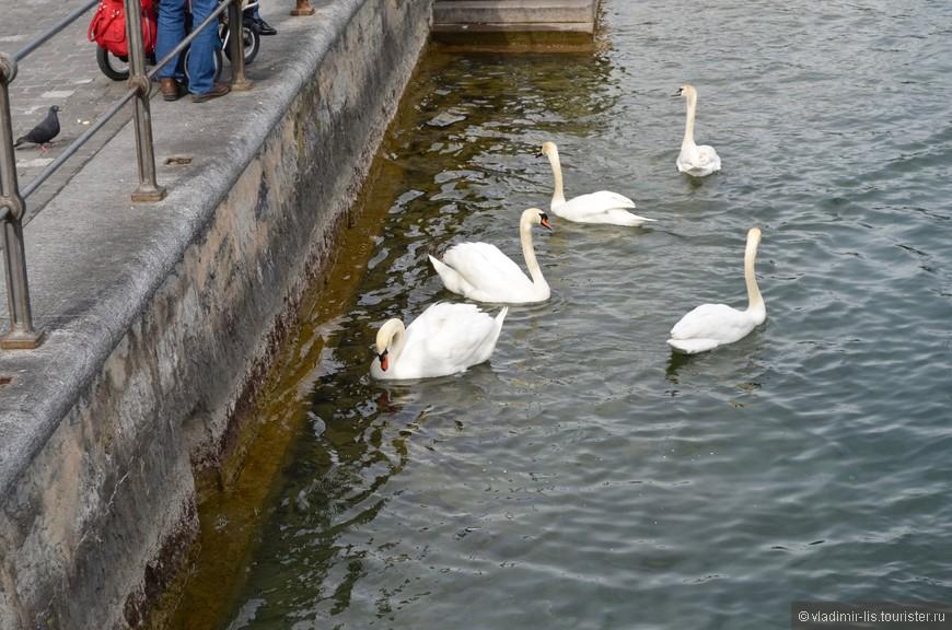 Для меня абсолютный показатель уюта города, это присутствие лебедей на воде, будь то река или озеро. И в Люцерне их большое количество, что не может не радовать. Хотя, может это зависит от того,  насколько обильно птиц кормят туристы...