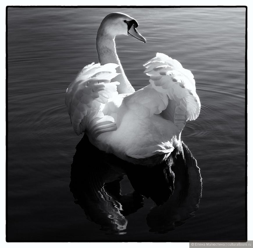 Огромные лебеди, плавающие в аамстердамских каналах - это не плод воображения туристов, одурманенных духом города, а реальность!