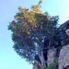 Растущая на скалах рябина