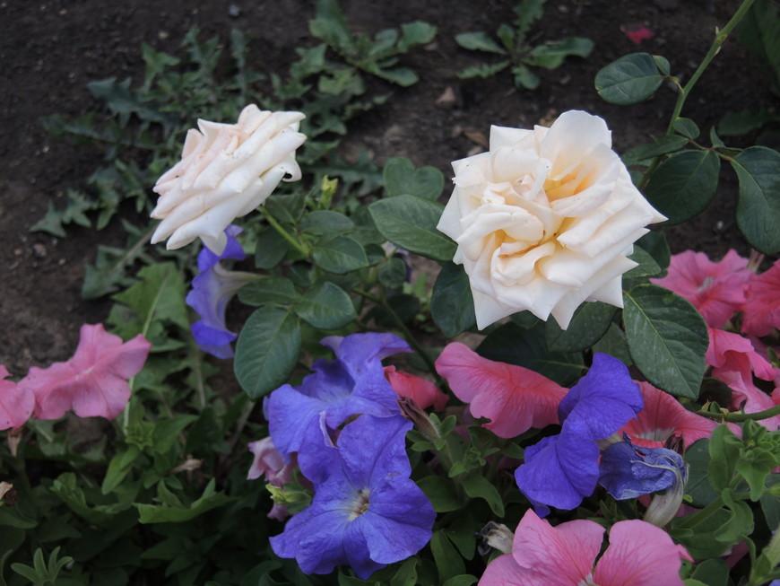 розы и петунии