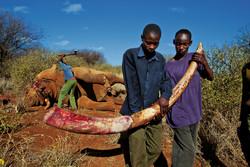 14 слонов в парках Зимбабве были отравлены цианидом