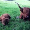 Знаменитые хайлендовские коровы