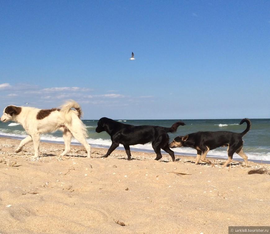 А местные собаки спокойно пьют морскую воду.