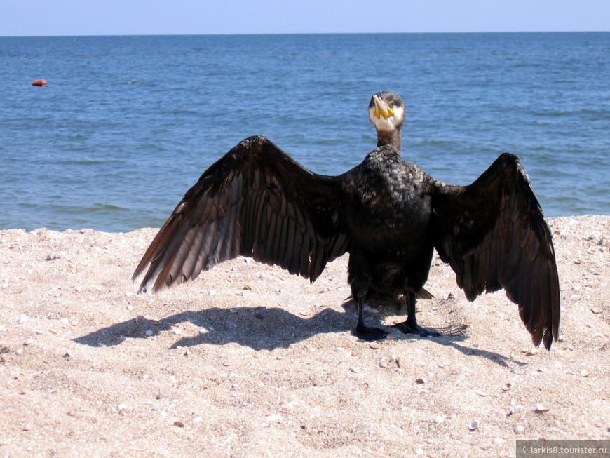 Помимо чаек, на острове Дзензик, который находится в Бердянском заливе, живут бакланы. Один из них залетел на пляж.У него был сломан клюв, его было очень жалко.