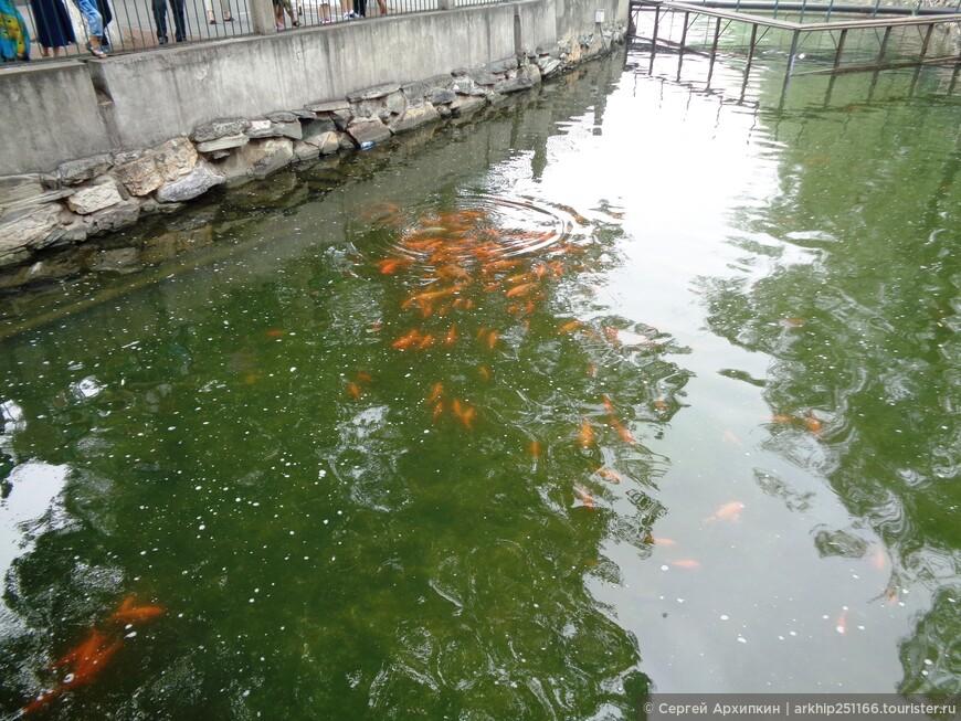 Золотые рыбки в парке Бэйхай